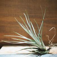 チランジア / ヴェルニコーサ ハイブリッド (T.vernicosa Hybrid) *A01/Nov23
