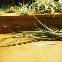 チランジア / ストレプトフィラ × ノバキー (T.streptophyll × T.novakii) *Au02/07