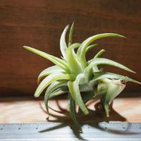 チランジア / イオナンタ ヴァンハイニンギー M (T.ionantha var. vanhyningii) *A01/Mar20