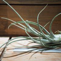 チランジア / チアペンシス  × カプトメドーサ (T.chiapensise × T.caput-medusae) *A01/Feb23