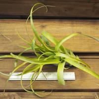 チランジア / カピタータ グリーン (T.capitata 'Green')