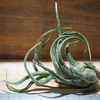 チランジア / プルイノーサ (T.pruinosa) *A01/Jun10