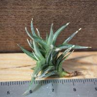 チランジア / フネブリス (T.funebris) *A02/J21