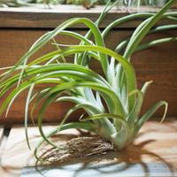 チランジア / カプトメドーサ × ブラキカウロス (T.caput-medusae × T.brachycaulos) *A01/Feb23