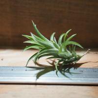 チランジア / ネグレクタ S (T.neglecta)  *A01/Feb01