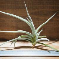 チランジア / カリギノーサ (T.caliginosa) *A01/Apr17