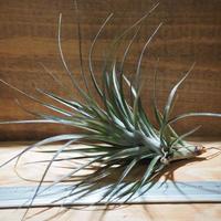 チランジア / テヌイフォリア アメシスト L (T.tenuifolia var. amethyst) *A01/Feb17