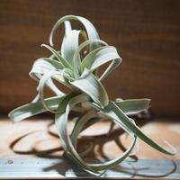 チランジア / ロゼオスカパ S (T.roseoscapa) *A01/Nov17