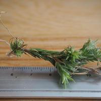 チランジア / ペディセラータ (T.pedicellata) *A02/J12