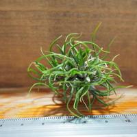 チランジア / ブルボーサ ミニブラジル CL (T.bulbosa 'Mini Brazil') *A01/Jul05