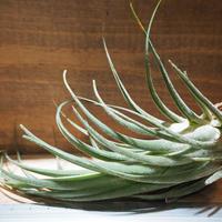 チランジア / セレリアナ × シルシナトイデス (T.seleriana × T.circinnatoides) *A01/May31