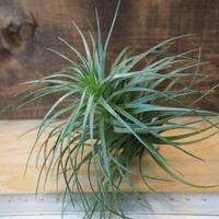チランジア / ストリクタ グレイミスト (T.stricta 'Gray Mist') *A02/J23