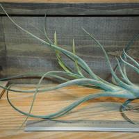 チランジア / アリザジュリアエ × プルイノーサ (T.ariza-juliae × T.pruinosa) *A02/Oct24