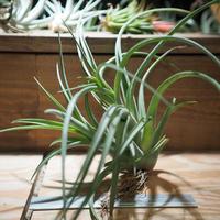 チランジア / カプトメドーサ × ブラキカウロス (T.caput-medusae × T.brachycaulos) *A01/Dec26
