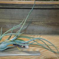 チランジア / メデューサ クラウン (T.'Medusa Crown') *A01/Dec18