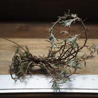 チランジア / ヴィレッセンス (T.virescens)