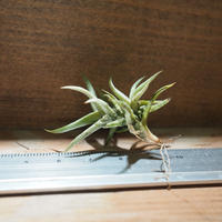 チランジア / フネブリス (T.funebris) *A01/Nov20