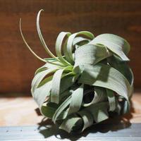 チランジア / ストレプトフィラ M (T.streptophylla) *A01/Jan27-02