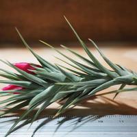 チランジア / テヌイフォリア オープンフォーム (T.tenuifolia 'Open Form') *A01/May06