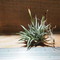 チランジア / フネブリス (T.funebris) *A01/May28