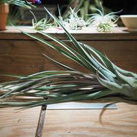 チランジア / ストレプトフィラ × ノバキー (T.streptophyll × T.novakii) *A01/May17