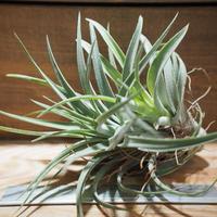 チランジア / チアペンシス × ベルティナ (T.chiapensis × T.velutina) *A01/May12