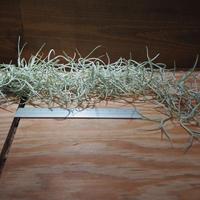 チランジア / ウスネオイデス 太葉 (T.usneoides) *A01/Aug08-01