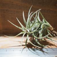 チランジア / ラティフォリア (T.latifolia) *A01/May28