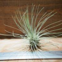 チランジア / フクシー グラシリス (T.fuchsii var. gracilis) *A01/Jul05