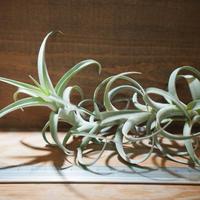 チランジア / ロゼオスカパ S (T.roseoscapa) *A01/Jun05
