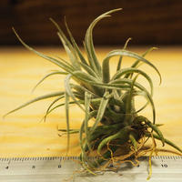 チランジア / スークレイ (T.sucrei) *A02/J07-01