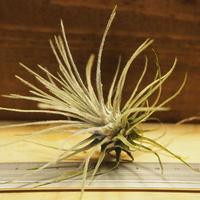 チランジア / プルモーサ (T.plumosa) *A02/J08-01