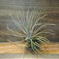 チランジア / プルモーサ (T.plumosa) *A02/Nov04-02