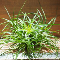 チランジア / ストリクタ グリーン CL (T.stricta 'Green') *A01/Jun22
