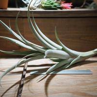 チランジア / ロゼオスカパ Lサイズ (T.roseoscapa) *A01/Nov17