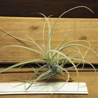 チランジア / ストラミネア ブッシュ (T.straminea 'Bush')