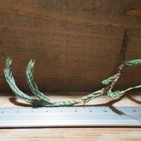 チランジア / ブリオイデス (T.bryoides) ★タイ農場 *A01/Sep01-01