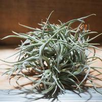 チランジア / クロカータ トリスティス (T.crocata var. tristis) *A01/May27