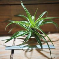 チランジア / フレキシオーサ ヴィヴィパラ (T.flexuosa var. vivipara) *A01/Sep16