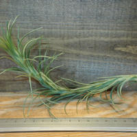 チランジア / アラウジェイ クローズフォーム (T.araujei Closed Form) *A01/Dec16