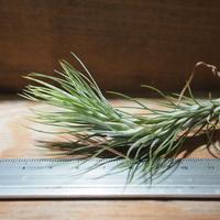 チランジア / フンキアナ M (T.funkiana) *A01/Jan27