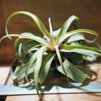チランジア / ノバキー  × (ブルボーサ × ストレプトフィラ) (T.novakii × (T.bulbosa x T.streptophylla)) *A01/Feb27