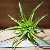 チランジア / ブラキカウロス グリーン (T.brachycaulos 'Green') *A01/Apr15