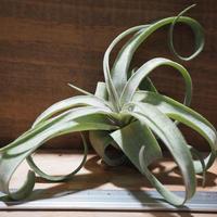 チランジア / ストレプトフィラ S (T.streptophylla) *A01/May25-02