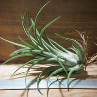 チランジア / セレリアナ × ベルティナ (T.seleriana × T.velutina) *A01/Jun13