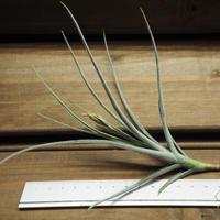 チランジア / カリギノーサ × クロカータ (T.caliginosa × T.crocata) ※開花株