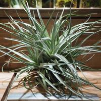 チランジア / レクルヴィフォリア × ガルドネリー XL (T.recurvifolia × T.gardneri) *A01/Aug01