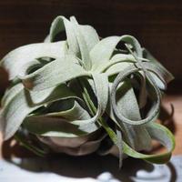 チランジア / ストレプトフィラ L (T.streptophylla) *A01/Feb12-02