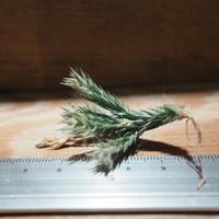 チランジア / ブリオイデス (T.bryoides ) *A01/Mar20