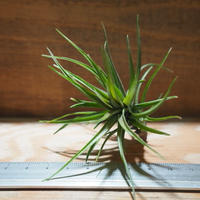 チランジア / テヌイフォリア パープルファン (T.tenuifolia 'Purple Fan') *A01/Apr15